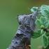 Mažoji kliostera - Clostera pigra | Fotografijos autorius : Gintautas Steiblys | © Macrogamta.lt | Šis tinklapis priklauso bendruomenei kuri domisi makro fotografija ir fotografuoja gyvąjį makro pasaulį.