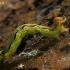 Žiemsprindis - Erannis defoliaria, vikšras | Fotografijos autorius : Gintautas Steiblys | © Macrogamta.lt | Šis tinklapis priklauso bendruomenei kuri domisi makro fotografija ir fotografuoja gyvąjį makro pasaulį.
