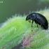 Žvilgvabalis - Meligethes sp. | Fotografijos autorius : Gintautas Steiblys | © Macrogamta.lt | Šis tinklapis priklauso bendruomenei kuri domisi makro fotografija ir fotografuoja gyvąjį makro pasaulį.