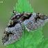 Raugerškinė cidarija - Pareulype berberata    Fotografijos autorius : Gintautas Steiblys   © Macrogamta.lt   Šis tinklapis priklauso bendruomenei kuri domisi makro fotografija ir fotografuoja gyvąjį makro pasaulį.