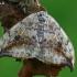 Juodataškis lenktasparnis - Drepana falcataria  | Fotografijos autorius : Gintautas Steiblys | © Macrogamta.lt | Šis tinklapis priklauso bendruomenei kuri domisi makro fotografija ir fotografuoja gyvąjį makro pasaulį.