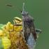 Kampuotblakė - Stictopleurus sp. | Fotografijos autorius : Gintautas Steiblys | © Macrogamta.lt | Šis tinklapis priklauso bendruomenei kuri domisi makro fotografija ir fotografuoja gyvąjį makro pasaulį.