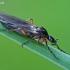 Storakojis uodas - Bibio nigriventris  | Fotografijos autorius : Gintautas Steiblys | © Macrogamta.lt | Šis tinklapis priklauso bendruomenei kuri domisi makro fotografija ir fotografuoja gyvąjį makro pasaulį.