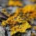 Sieninė geltonkerpė - Xanthoria parietina | Fotografijos autorius : Gintautas Steiblys | © Macrogamta.lt | Šis tinklapis priklauso bendruomenei kuri domisi makro fotografija ir fotografuoja gyvąjį makro pasaulį.