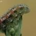 Žiedmusės - Eupeodes sp. lerva | Fotografijos autorius : Gintautas Steiblys | © Macrogamta.lt | Šis tinklapis priklauso bendruomenei kuri domisi makro fotografija ir fotografuoja gyvąjį makro pasaulį.