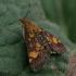 Auksaspalvė pyrausta - Pyrausta aurata | Fotografijos autorius : Gintautas Steiblys | © Macrogamta.lt | Šis tinklapis priklauso bendruomenei kuri domisi makro fotografija ir fotografuoja gyvąjį makro pasaulį.