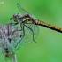 Juosvoji skėtė - Sympetrum danae, patelė | Fotografijos autorius : Gintautas Steiblys | © Macrogamta.lt | Šis tinklapis priklauso bendruomenei kuri domisi makro fotografija ir fotografuoja gyvąjį makro pasaulį.