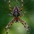 Paprastasis kryžiuotis - Araneus diadematus    Fotografijos autorius : Gintautas Steiblys   © Macrogamta.lt   Šis tinklapis priklauso bendruomenei kuri domisi makro fotografija ir fotografuoja gyvąjį makro pasaulį.