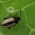 Krieninė kopūstinukė - Phyllotreta armoraciae | Fotografijos autorius : Gintautas Steiblys | © Macrogamta.lt | Šis tinklapis priklauso bendruomenei kuri domisi makro fotografija ir fotografuoja gyvąjį makro pasaulį.