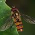 Žiedmusė - Episyrphus balteatus | Fotografijos autorius : Gintautas Steiblys | © Macrogamta.lt | Šis tinklapis priklauso bendruomenei kuri domisi makro fotografija ir fotografuoja gyvąjį makro pasaulį.