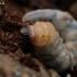 Mažasis ožiaragis - Monochamus sutor, lerva | Fotografijos autorius : Gintautas Steiblys | © Macrogamta.lt | Šis tinklapis priklauso bendruomenei kuri domisi makro fotografija ir fotografuoja gyvąjį makro pasaulį.