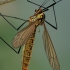 Ilgakojis uodas - Nephrotoma flavescens | Fotografijos autorius : Gintautas Steiblys | © Macrogamta.lt | Šis tinklapis priklauso bendruomenei kuri domisi makro fotografija ir fotografuoja gyvąjį makro pasaulį.