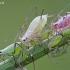 Amarai - Macrosiphum euphorbiae ? | Fotografijos autorius : Gintautas Steiblys | © Macrogamta.lt | Šis tinklapis priklauso bendruomenei kuri domisi makro fotografija ir fotografuoja gyvąjį makro pasaulį.