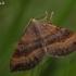 Rudasis pievasprindis - Scotopteryx chenopodiata | Fotografijos autorius : Gintautas Steiblys | © Macrogamta.lt | Šis tinklapis priklauso bendruomenei kuri domisi makro fotografija ir fotografuoja gyvąjį makro pasaulį.