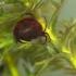 Vandeninė erkė - Hydrachna sp. ?   Fotografijos autorius : Gintautas Steiblys   © Macrogamta.lt   Šis tinklapis priklauso bendruomenei kuri domisi makro fotografija ir fotografuoja gyvąjį makro pasaulį.