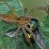 Juostuotasis plūdvoris - Dolomedes fimbriatus | Fotografijos autorius : Gintautas Steiblys | © Macrogamta.lt | Šis tinklapis priklauso bendruomenei kuri domisi makro fotografija ir fotografuoja gyvąjį makro pasaulį.