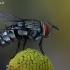 Dygliamusė - Winthemia sp. | Fotografijos autorius : Gintautas Steiblys | © Macrogamta.lt | Šis tinklapis priklauso bendruomenei kuri domisi makro fotografija ir fotografuoja gyvąjį makro pasaulį.