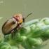 Geltonasis paslėptagalvis - Cryptocephalus fulvus  | Fotografijos autorius : Gintautas Steiblys | © Macrogamta.lt | Šis tinklapis priklauso bendruomenei kuri domisi makro fotografija ir fotografuoja gyvąjį makro pasaulį.