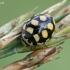 Keturiolikataškė boružė - Coccinula quatuordecimpustulata  | Fotografijos autorius : Gintautas Steiblys | © Macrogamta.lt | Šis tinklapis priklauso bendruomenei kuri domisi makro fotografija ir fotografuoja gyvąjį makro pasaulį.