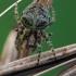 Žalsvasis kuprius - Gibbaranea gibbosa | Fotografijos autorius : Gintautas Steiblys | © Macrogamta.lt | Šis tinklapis priklauso bendruomenei kuri domisi makro fotografija ir fotografuoja gyvąjį makro pasaulį.