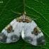 Dvispalvė cidarija - Plemyria rubiginata | Fotografijos autorius : Gintautas Steiblys | © Macrogamta.lt | Šis tinklapis priklauso bendruomenei kuri domisi makro fotografija ir fotografuoja gyvąjį makro pasaulį.
