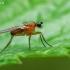 Smailiasparnė muselė - Lonchoptera lutea, patinas | Fotografijos autorius : Gintautas Steiblys | © Macrogamta.lt | Šis tinklapis priklauso bendruomenei kuri domisi makro fotografija ir fotografuoja gyvąjį makro pasaulį.