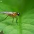 Smailiasparnė muselė - Lonchoptera lutea, patelė | Fotografijos autorius : Gintautas Steiblys | © Macrogamta.lt | Šis tinklapis priklauso bendruomenei kuri domisi makro fotografija ir fotografuoja gyvąjį makro pasaulį.