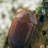 Pūzrinis skydvabalis - Peltis ferruginea | Fotografijos autorius : Gintautas Steiblys | © Macrogamta.lt | Šis tinklapis priklauso bendruomenei kuri domisi makro fotografija ir fotografuoja gyvąjį makro pasaulį.
