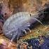 Šoniplauka - Pontogammarus robustoides    Fotografijos autorius : Gintautas Steiblys   © Macrogamta.lt   Šis tinklapis priklauso bendruomenei kuri domisi makro fotografija ir fotografuoja gyvąjį makro pasaulį.