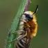 Bitė - Melitta leporina | Fotografijos autorius : Gintautas Steiblys | © Macrogamta.lt | Šis tinklapis priklauso bendruomenei kuri domisi makro fotografija ir fotografuoja gyvąjį makro pasaulį.