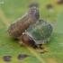 Pjūklelis - Allantus cinctus, lerva | Fotografijos autorius : Gintautas Steiblys | © Macrogamta.lt | Šis tinklapis priklauso bendruomenei kuri domisi makro fotografija ir fotografuoja gyvąjį makro pasaulį.