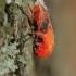 Blakė kareivėlis - Pyrrhocoris apterus | Fotografijos autorius : Gintautas Steiblys | © Macrogamta.lt | Šis tinklapis priklauso bendruomenei kuri domisi makro fotografija ir fotografuoja gyvąjį makro pasaulį.