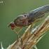 Musė - Dryomyza flaveola  | Fotografijos autorius : Gintautas Steiblys | © Macrogamta.lt | Šis tinklapis priklauso bendruomenei kuri domisi makro fotografija ir fotografuoja gyvąjį makro pasaulį.