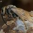 Ritasi širšuolas (Vespa crabro)   Fotografijos autorius : Gintautas Steiblys   © Macrogamta.lt   Šis tinklapis priklauso bendruomenei kuri domisi makro fotografija ir fotografuoja gyvąjį makro pasaulį.