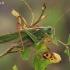 Žaliasis žiogas - Tettigonia viridissima | Fotografijos autorius : Gintautas Steiblys | © Macrogamta.lt | Šis tinklapis priklauso bendruomenei kuri domisi makro fotografija ir fotografuoja gyvąjį makro pasaulį.