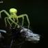 Geltonasis žiedvoris - Misumena vatia | Fotografijos autorius : Gintautas Steiblys | © Macrogamta.lt | Šis tinklapis priklauso bendruomenei kuri domisi makro fotografija ir fotografuoja gyvąjį makro pasaulį.