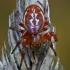 Taškuotasis voriukas - Araniella displicata | Fotografijos autorius : Gintautas Steiblys | © Macrogamta.lt | Šis tinklapis priklauso bendruomenei kuri domisi makro fotografija ir fotografuoja gyvąjį makro pasaulį.