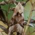 Smailiakampis pelėdgalvis - Phlogophora meticulosa | Fotografijos autorius : Gintautas Steiblys | © Macrogamta.lt | Šis tinklapis priklauso bendruomenei kuri domisi makro fotografija ir fotografuoja gyvąjį makro pasaulį.