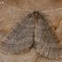 Mažasis žiemsprindis - Operophtera brumata, patinas | Fotografijos autorius : Gintautas Steiblys | © Macrogamta.lt | Šis tinklapis priklauso bendruomenei kuri domisi makro fotografija ir fotografuoja gyvąjį makro pasaulį.