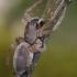 Maišiavoris - Clubiona sp.   Fotografijos autorius : Gintautas Steiblys   © Macrogamta.lt   Šis tinklapis priklauso bendruomenei kuri domisi makro fotografija ir fotografuoja gyvąjį makro pasaulį.