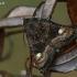 Avietinis pelėdgalvis - Euplexia lucipara | Fotografijos autorius : Gintautas Steiblys | © Macrogamta.lt | Šis tinklapis priklauso bendruomenei kuri domisi makro fotografija ir fotografuoja gyvąjį makro pasaulį.