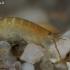 Šoniplauka - Gammaridae | Fotografijos autorius : Gintautas Steiblys | © Macrogamta.lt | Šis tinklapis priklauso bendruomenei kuri domisi makro fotografija ir fotografuoja gyvąjį makro pasaulį.