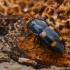 Daržinis žvilgvabalis - Glischrochilus hortensis  | Fotografijos autorius : Gintautas Steiblys | © Macrogamta.lt | Šis tinklapis priklauso bendruomenei kuri domisi makro fotografija ir fotografuoja gyvąjį makro pasaulį.
