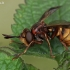 Lenktapilvė musė - Conops vesicularis | Fotografijos autorius : Gintautas Steiblys | © Macrogamta.lt | Šis tinklapis priklauso bendruomenei kuri domisi makro fotografija ir fotografuoja gyvąjį makro pasaulį.
