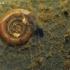 Paprastoji ritinukė - Planorbis planorbis  | Fotografijos autorius : Gintautas Steiblys | © Macrogamta.lt | Šis tinklapis priklauso bendruomenei kuri domisi makro fotografija ir fotografuoja gyvąjį makro pasaulį.