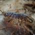 Vandens asiliukas - Asellus aquaticus | Fotografijos autorius : Gintautas Steiblys | © Macrogamta.lt | Šis tinklapis priklauso bendruomenei kuri domisi makro fotografija ir fotografuoja gyvąjį makro pasaulį.