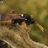 Vytis - Ichneumon sarcitorius ?? | Fotografijos autorius : Gintautas Steiblys | © Macrogamta.lt | Šis tinklapis priklauso bendruomenei kuri domisi makro fotografija ir fotografuoja gyvąjį makro pasaulį.