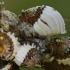 Australiniai skydamariai - Icerya purchasi | Fotografijos autorius : Gintautas Steiblys | © Macrogamta.lt | Šis tinklapis priklauso bendruomenei kuri domisi makro fotografija ir fotografuoja gyvąjį makro pasaulį.