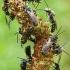 Vagabičių - Lasioglossum sp. spiečius  | Fotografijos autorius : Gintautas Steiblys | © Macrogamta.lt | Šis tinklapis priklauso bendruomenei kuri domisi makro fotografija ir fotografuoja gyvąjį makro pasaulį.