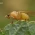 Girinukė - Lauxaniidae ??  | Fotografijos autorius : Gintautas Steiblys | © Macrogamta.lt | Šis tinklapis priklauso bendruomenei kuri domisi makro fotografija ir fotografuoja gyvąjį makro pasaulį.
